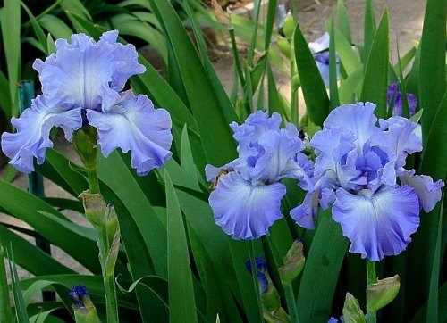 an analysis of the wild iris by louis gluck Analysis of louise gluck's poems topics articles analyze a poem online critical analysis of famous poems by louise gluck home louise gluck the wild iris.
