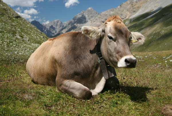 Cow-protect