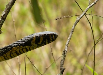 Beware: 8 feet-long King Cobra on the loose for 2 days in Orlando