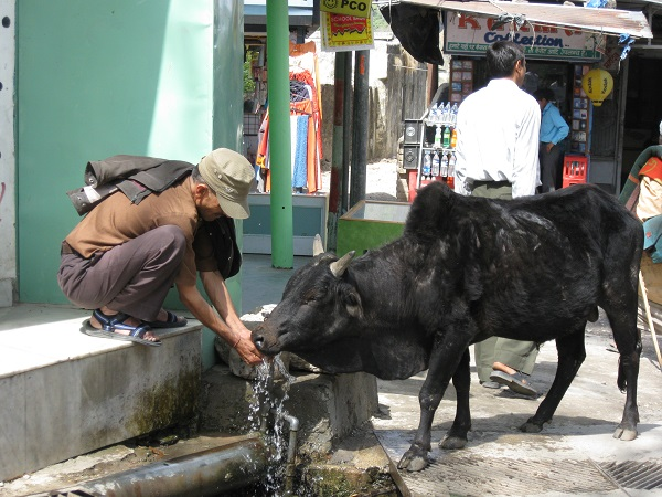 A cow drinking water from a tap in Rishikesh. Photo credit: Malini Sekhar.