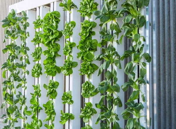 Japanese company to produce 30,000 lettuce heads per day on