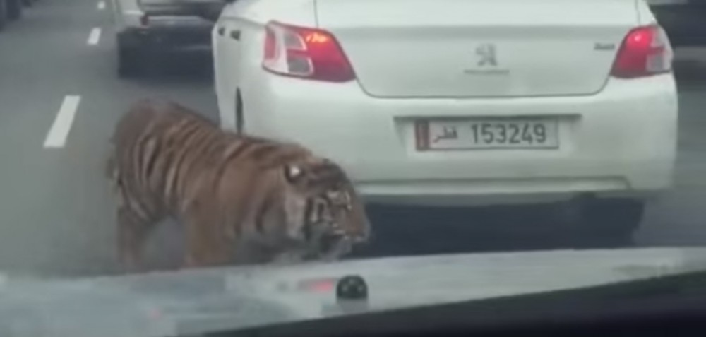 tiger-in-doha
