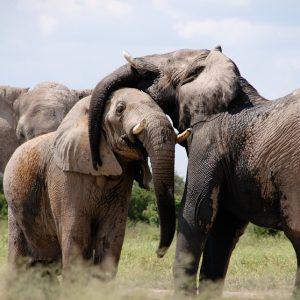 animals-elephant
