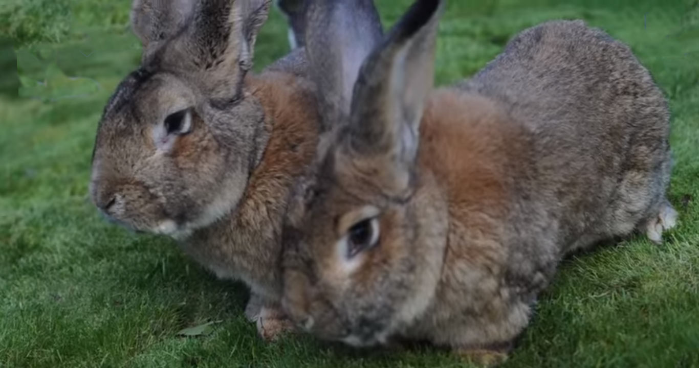 Giant continental rabbit found dead on arrival, United Airlines PR woes continue