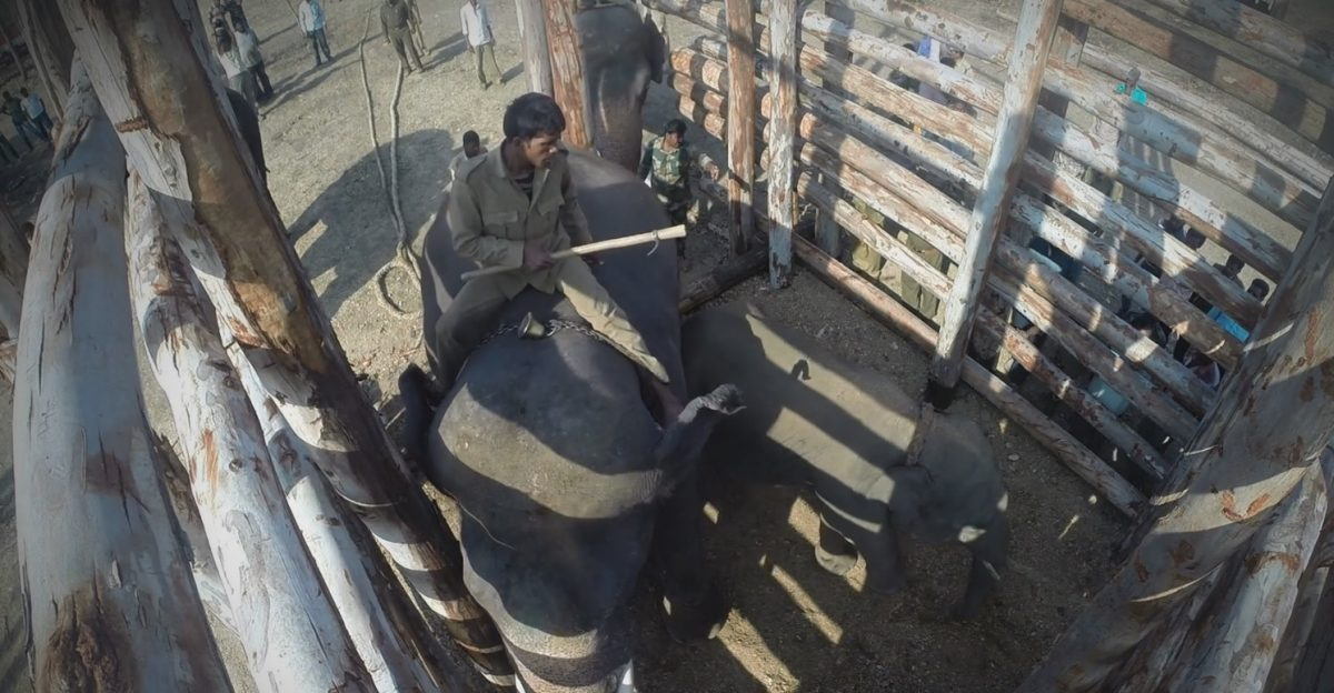 How a deadly conflict over coffee with humans in India is forcing elephants into cages